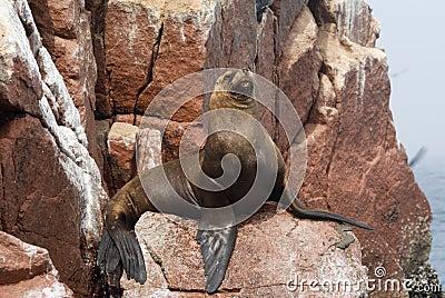 Sea Lion on  Ballestas Islands