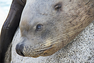 Sea lion close-up