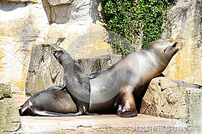 Sea lion and cocky standing little baby