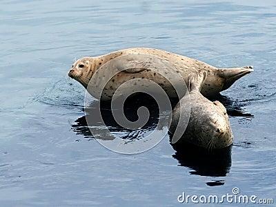 Sea lion couple