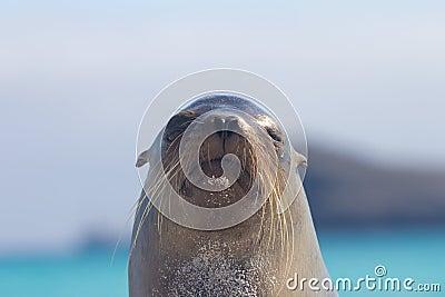 Sea Lion Face