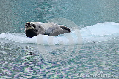 Sea lion on the flake of ice