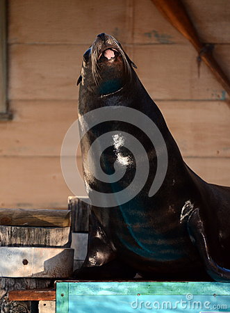 Sea Lion fun.