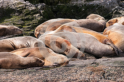 Sea lion group relaxing