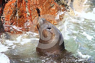 Sea lion in ocean