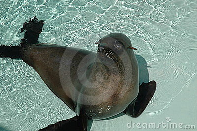 Sea lion in pool