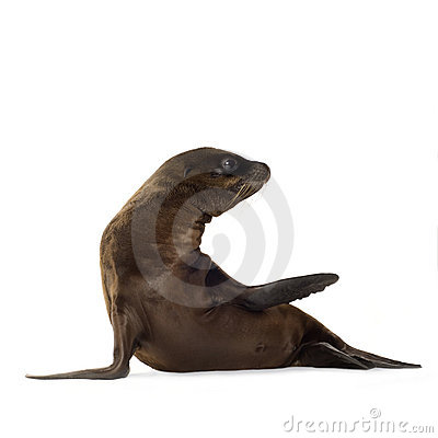 Free Sea-lion Pup (3 Months) Royalty Free Stock Photography - 3284337