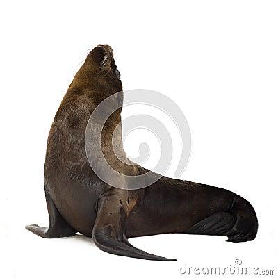 Free Sea-lion Pup (3 Months) Stock Photos - 3284353