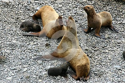Sea-lion, she seal and puppy