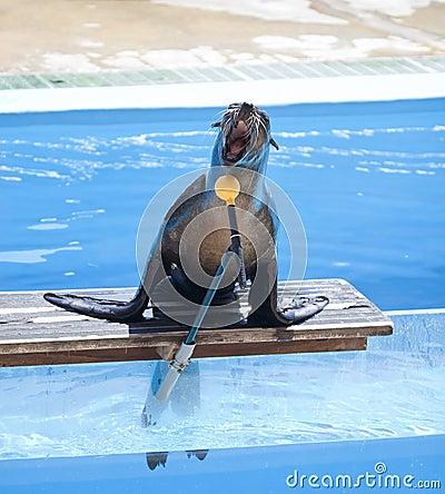 Sea lion singing