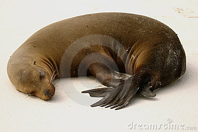 Sea-lion sleeping