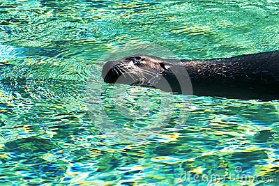 Sea-lion swims in turquoise water