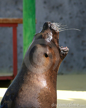 Sea lion yawns.