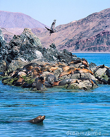 Free Sea Lions And Pelican Stock Image - 4610241