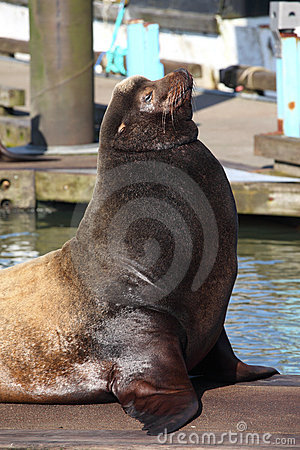 Free Sea-lions Basking At A Marina In Astoria Oregon. Royalty Free Stock Image - 19371766