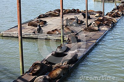 Sea-lions basking at a marina in Astoria Oregon.