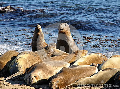 Sea-lions fighting while others are sleeping, on the beach