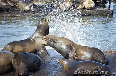 Sea lions at frisco