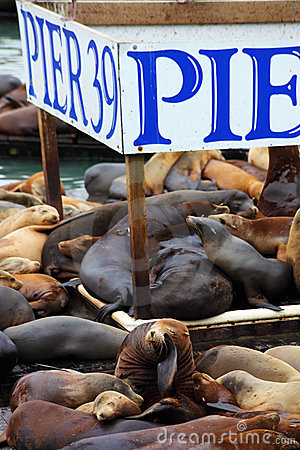 The  sea lions are heated on wooden platforms