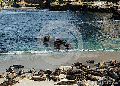 Sea Lions in La Jolla Cove