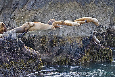 Sea lions on rocky coast
