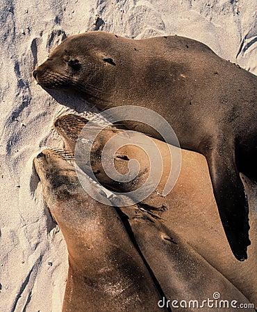 Free Sea Lions Sleeping Stock Photo - 2601670