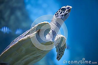 Sea or marine turtle