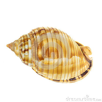 Free Sea Mollusk Shell Isolated On White Background Royalty Free Stock Images - 28816649