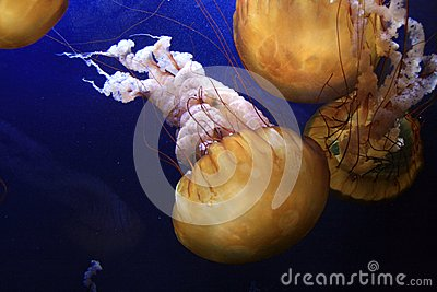 Sea Nettle Jelly Fish