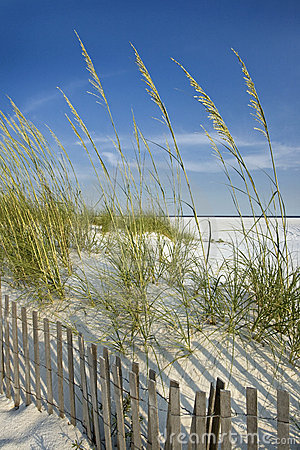 Free Sea Oats And Dune Fence Royalty Free Stock Images - 5585839