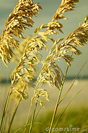 Free Sea Oats II Stock Images - 7573604
