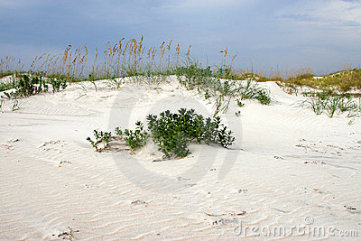 Sea oats on a sand dune