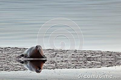 Sea Seal