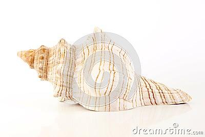 Sea Shell,