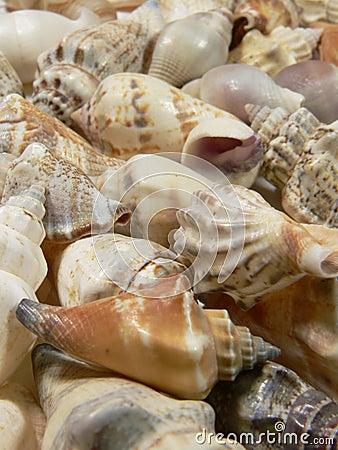 Free Sea Shell Stock Photography - 517092