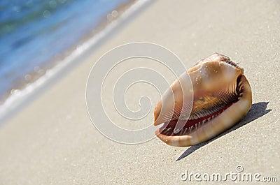 Sea shell on the beach
