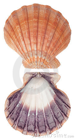 Sea Shell Front and Back