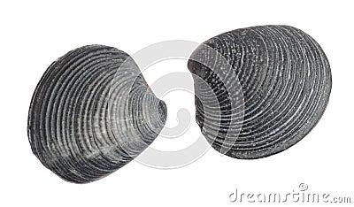 Sea shellfish fossils