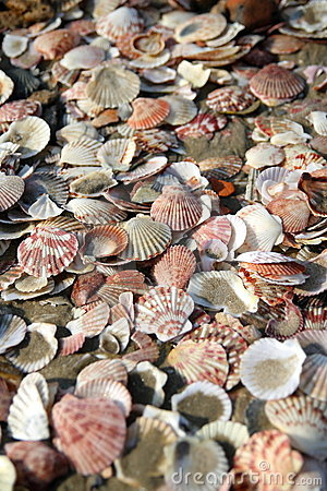 Sea Shells on Beach (Closeup)