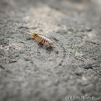 Sea slater (sea louse) on stone