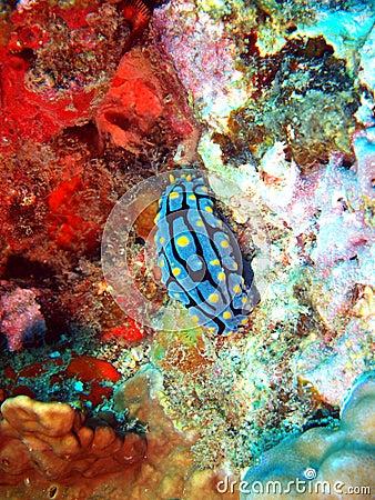 Sea slugs of the South-Chinese sea