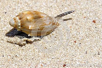Sea snail on beach