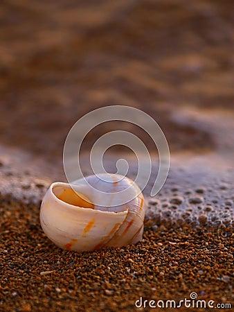 Sea snail at sandy beach