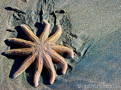 Sea star on black sand