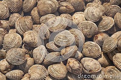 Sea truffle - Venus clams