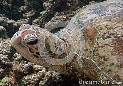 Sea Turtle,