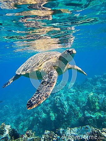 Free Sea Turtle Stock Images - 22872084