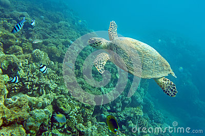 Sea Turtle Stock Image - Image: 26646871