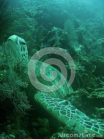 Sea Turtle bed on coral reef sipadan borneo