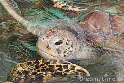 Sea turtle comes up for air